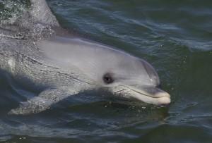 bigstock-Bottlenose-Dolphin-5492583