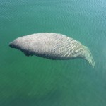bigstock-Manatee-Cruising-in-the-Harbor-42478237