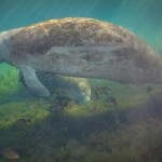 Manatee Pair Eating and Floating