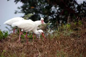 White Ibis  Ding Darling Wildlife Refuge Sanibel Florida