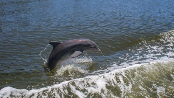 Playing with dolphins from deck of boat reminds us the value of Indian River Lagoon, tourism